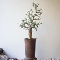 ブルセラ   ファガロイデス  no.013     Bursera fagaroides
