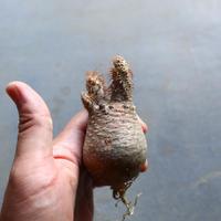 パキポディウム グラキリス 抜苗  Pachypodium rosulatum var. gracilius no.92910