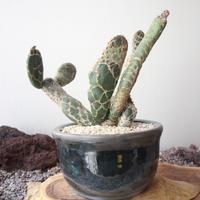 オプンチア レティキュラータ 亀甲団扇 no.001   Opuntia zebrina f. reticulata