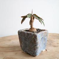 ユーフォルビア   ラバティ  緑葉 no.003   Euphorbia labatii 'green leaf'