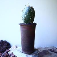 アデニア  グロボーサ      Adenia globosa       no.52609