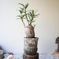 パキポディウム  サキュレンタム    no.009  Pachypodium succulentum