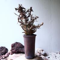 コミフォラ エミニー  Commiphora eminii    no.72126