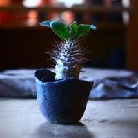 パキポディウム   ナマクアナム  光堂  Pachypodium namaquanum  no.70530
