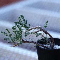 ペラルゴニム   アルテルナンス  Pelargonium alternans    no.120641