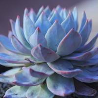 エケベリア ブルーバード  Echeveria 'Blue Bird'     no.20736