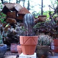 ユーフォルビア  ホリダ     Euphorbia  horrida     no.42509