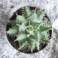 アロエ  エリナケア   no.003    Aloe melanacantha v. erinacea
