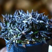 ユーフォルビア デカリー   Euphorbia decaryi   no.111588