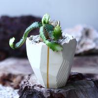 飛竜 ユーフォルビア スクアローサ   Euphorbia  squarrosa  no.020