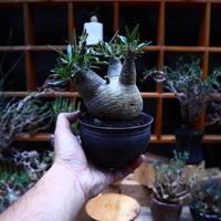 パキポディウム  グラキリス/Pachypodium  gracilius       no.52327
