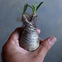 パキポディウム グラキリス   Pachypodium rosulatum var. gracilius no.110321