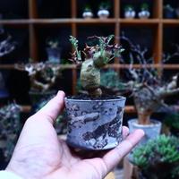 ペラルゴニウム  クリズミフォリウム/Pelargonium crithmifolium    no.53010