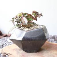 ユーフォルビア   フランコイシー  no.004  Euphorbia francoisii