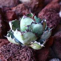 アガベ チタノタ ブラック&ブルー Agave titanota black&bule   no.30845
