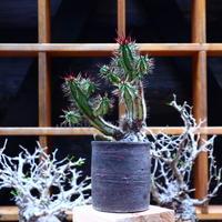 ユーフォルビア  紅彩閣/Euphorbia enopla    no.51607