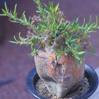 パキポディウム ビスピノーサム    Pachypodium bispinosum    no.20702
