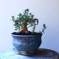 トリコディアデマ     デンスム   紫星晃    ×    Trichodiadema densum   no.11230