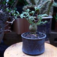 ペラルゴニウム  クリズミフォリウム/Pelargonium crithmifolium    no.60611