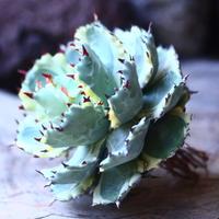 アガベ  兜蟹錦   抜苗 ④  Agave isthmensis Kabutogani variegated   no.42670 -4