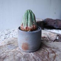 ユーフォルビア  オベサ    Euphorbia obesa  no.112417