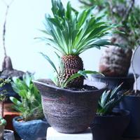 ユーフォルビア    鉄甲丸    Euphorbia bupleurifolia  no.61410