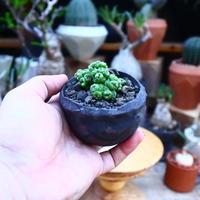 マミラリア ボカサナフレッド/Mammillaria bocasana cv. Fred     no.71854