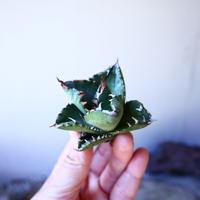 アガベ   チタノタ    Agave  titanota     no.111001