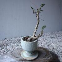 ペラルゴニウム カルノーサム  Pelargonium carnosum  no.122212