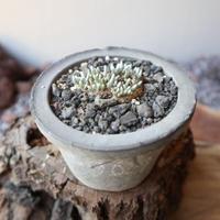 アボニア クイナリア  アルストニー    赤花 no.002      Avonia  quinaria  ssp. alstonii