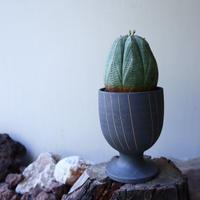 ユーフォルビア  オベサ ♀  Euphorbia obesa no.51925