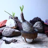 パキポディウム グラキリス   Pachypodium rosulatum var. gracilius no.32902