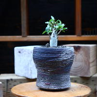 フォークイエリア  コルムナリス  (観峰玉)/Fouquieria columnari   no.72521