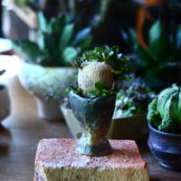 ユーフォルビア  スバポダ  Euphorbia subapoda    no.81623
