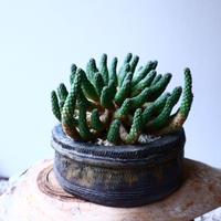 ユーフォルビア エスクレンタ  Euphorbia esculenta   no.20306