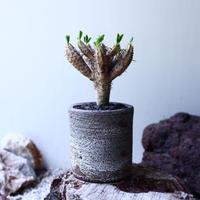 ユーフォルビア   ギラウミニアナ  Euphorbia guillauminiana  no.61624