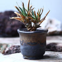 レウクテンベルギア  晃山    Leuchtenbergia principis  no.002