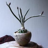 アストロフィツム カプト メデューサ  接木   Astrophytum caputmedusae    no.71419