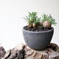 ユーフォルビア   我眉山    no.003   Euphorbia 'Gabizan'