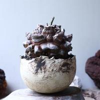 ディオスコレア   亀甲竜    Dioscorea elephantipe     no.90127
