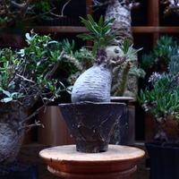 パキポディウム  グラキリス/Pachypodium  gracilius       no.60604