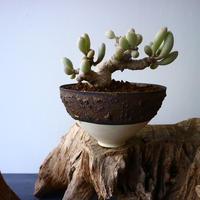 オトンナ    クラビフォリア   Othonna clavifolia  No.007