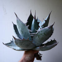 アガベ   チタノタ 〝アイス ブルー〟 Agave  titanota  ice blue   no.42826
