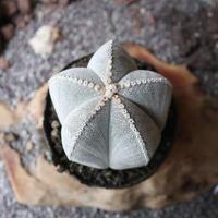 アストロフィツム  白ランポー玉   no.003    Astrophytum coahuilens