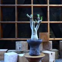 パキポディウム  イノピナツム/Pachypodium Inopinatum   no.80831