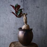 ユーフォルビア   ラバティー   Euphorbia labatii no.012