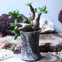 ユーフォルビア    イトレメンシス    Euphorbia itremensi  no.020