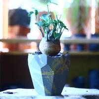 アデニア   スピノーサ   Adenia     spinosa    no.70523