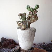 ロフォケレウス  福禄寿    no.002   Lophocereus schottii