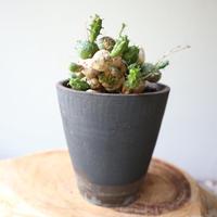 ユーフォルビア グロボーサ  no.015   Euphorbia globosa